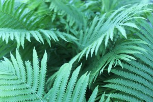 Ferns in June