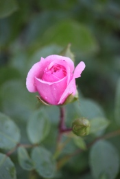 First rose