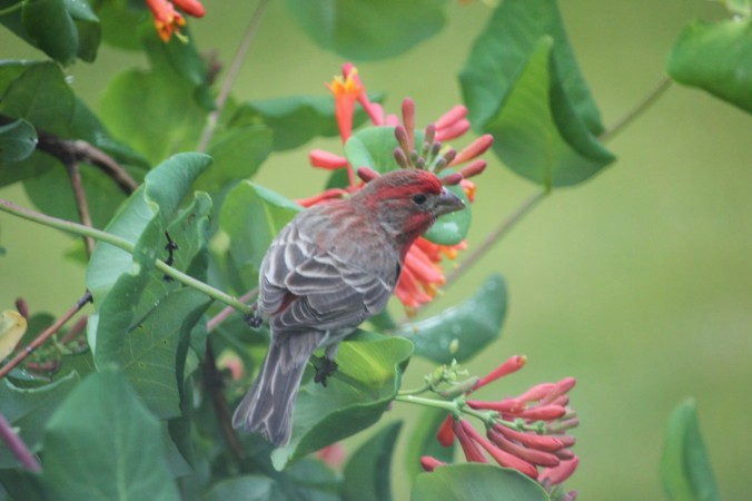Male house finch enjoys honeysuckle